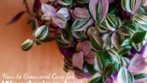 Wandering Jew Plant: How do I care for Tradescantia Indoors & Outdoor