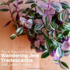 How to Grow and Care for Wandering Jew Plants Tradescantia Indoors And Outdoor