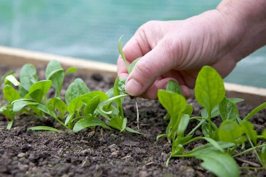 How To Plant Spinach Seedlings