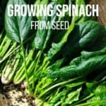 Growing Spinach : The Beginner's Guide to Planting, Growing and Harvesting Spinach Successfully