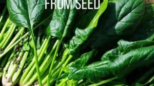 Growing Spinach From Seed: A Guide to Planting & Harvesting Spinach (without killing the plant)