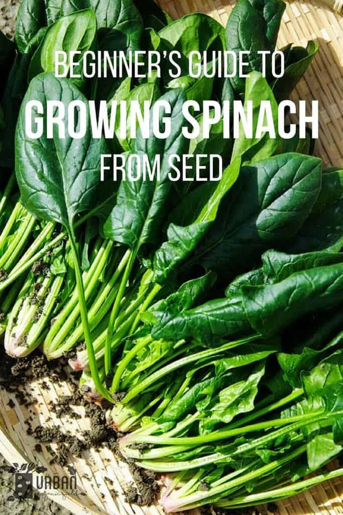 The Beginner's Guide to Planting, Growing and Harvesting Spinach Successfully