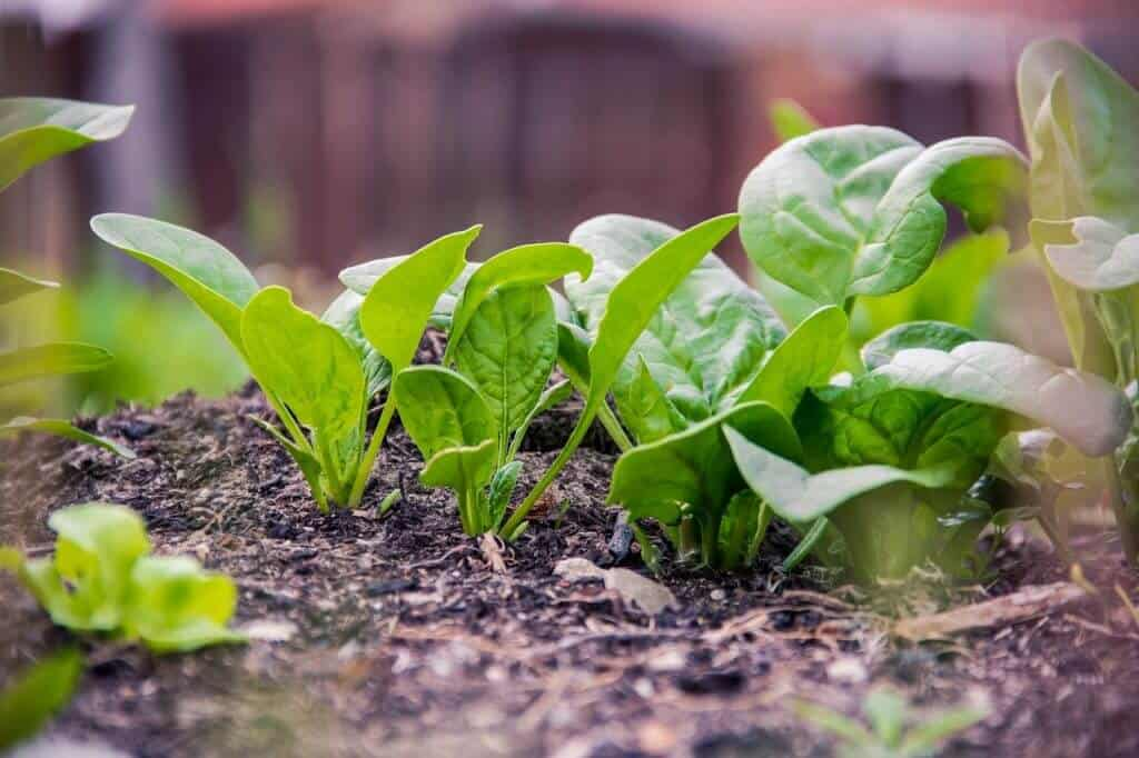 Where To Plant Your Spinach