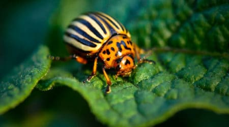 Do Potato Bugs Bite Here Everything You Need To Know About Potato Bug
