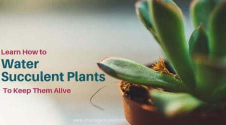 Learn Howto Water Succulent Plants