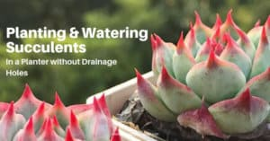 Planting & Watering Succulents In Container Without Drain Holes