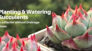 How To Plant & Water Succulents In containers Without Drainage Holes