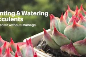 Planting & Watering Succulents In Containers Without Drain Holes