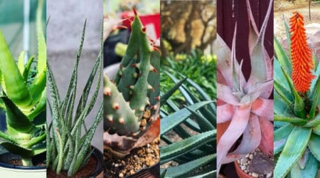 20 Diffrent Types Of Aloe Plants