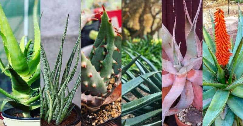 20 Diffrent Types Of Aloe Plants