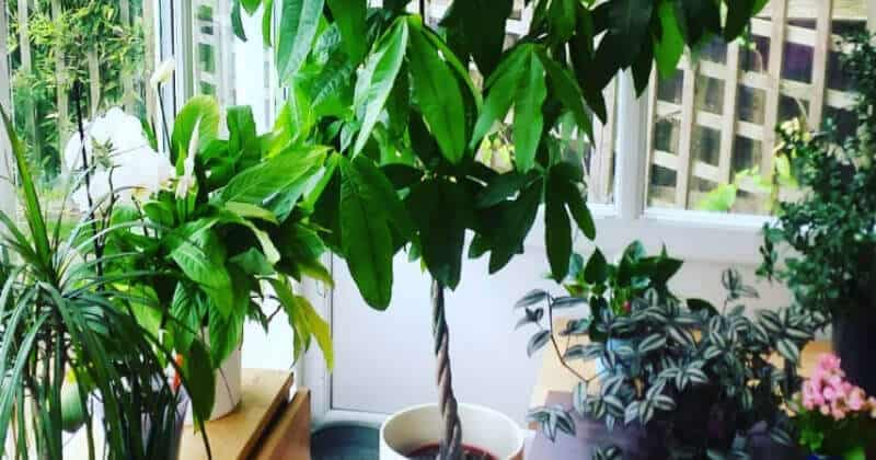 CARING FOR YOUR MONEY TREE TIPS + TRICKS