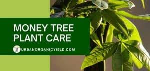 Pachira Aquatica Money Tree Plant Care