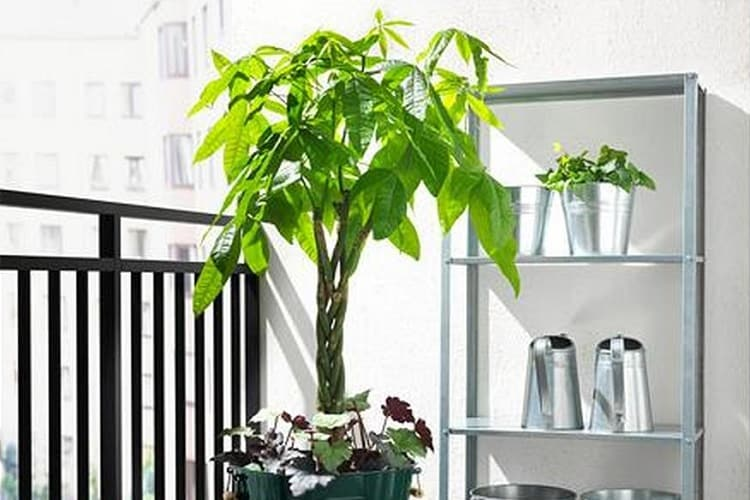 Common Questions About Money Tree Plant Care Answered