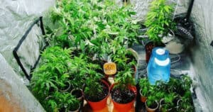 How Many Plants in a Grow Tent Are Too Many