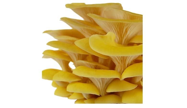 Mushroom Mojo Yellow Oyster Mycelium Plug Spawn