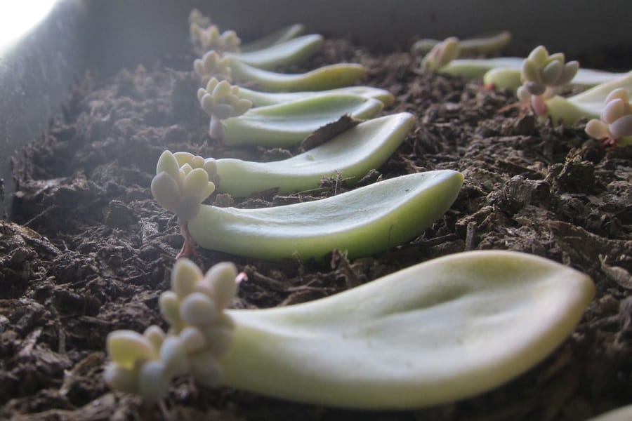How To Propagate Succulents From Leaves To Stem Cuttings