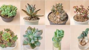 67 different types of succulents and cactus (with pictures) And Care and Growing Tips