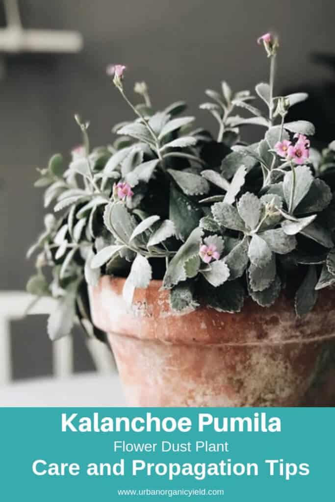 Flower Dust Plant (Kalanchoe Pumila)