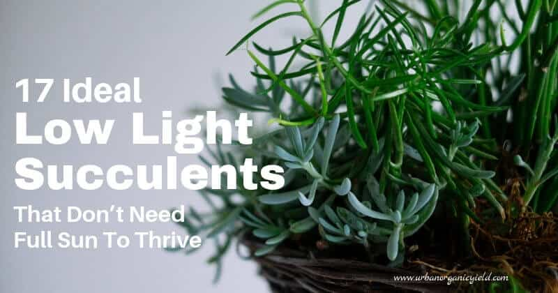 17 Best Low Light Succulents And Cacti That Don T Need Full Sun To Thrive