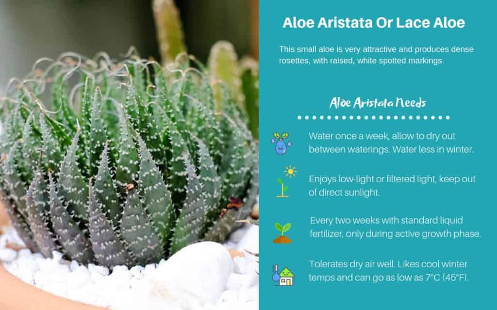 Aloe Aristata Or Lace Aloe