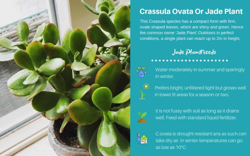 Crassula Ovata Or Jade Plant and Crassula ovata hybrids (like Crassula ovata 'Gollum')