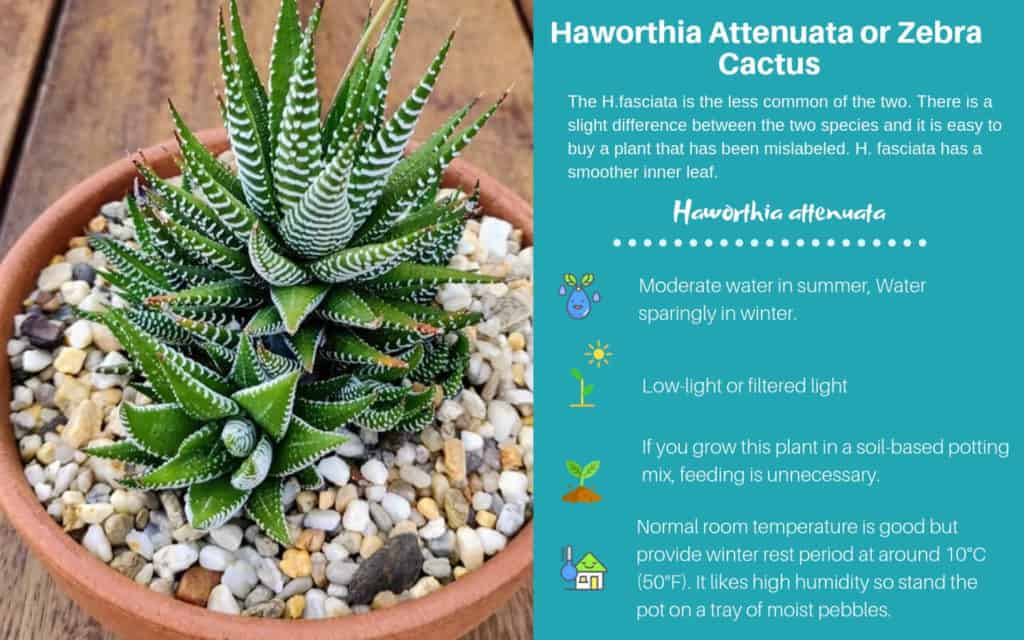 Haworthia Attenuata or Zebra Cactus