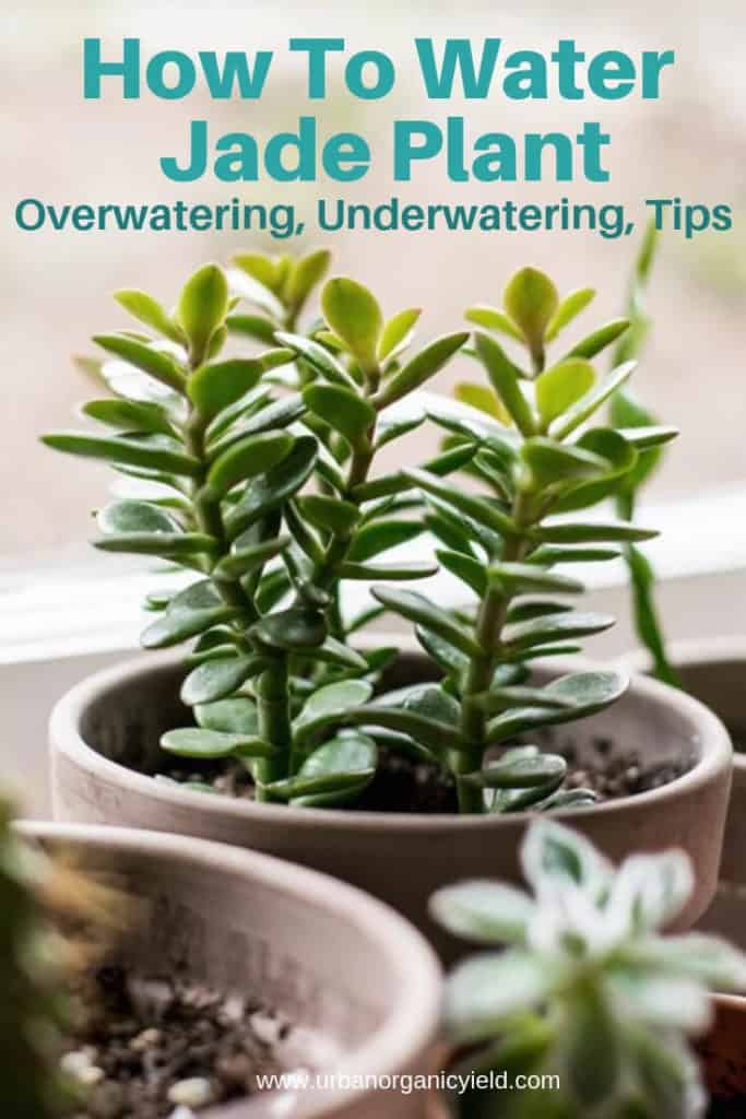 How Often To Water Jade Plant to keep it alive Overwatering, Underwatering, Tips
