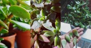 How Often should you Water Jade Plant Overwatering, Underwatering, Tips
