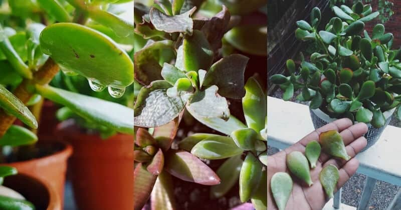 How Often should you Water Jade Plant Overwatering, Underwatering, Tips