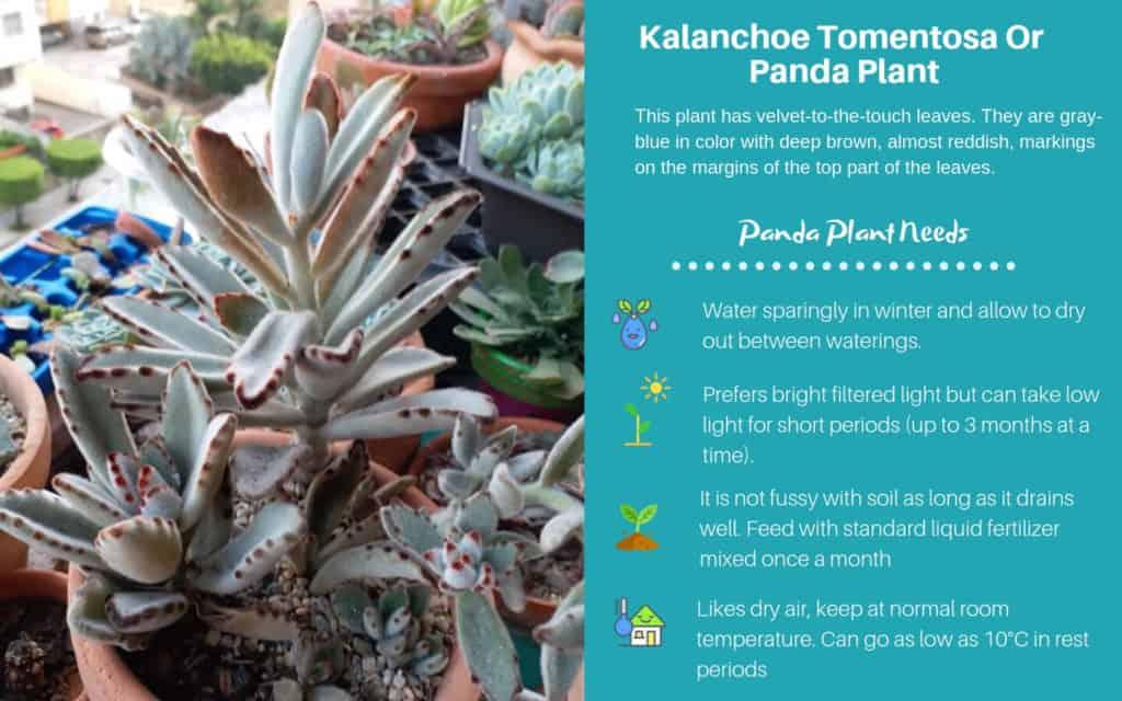 Kalanchoe Tomentosa Or Panda Plant
