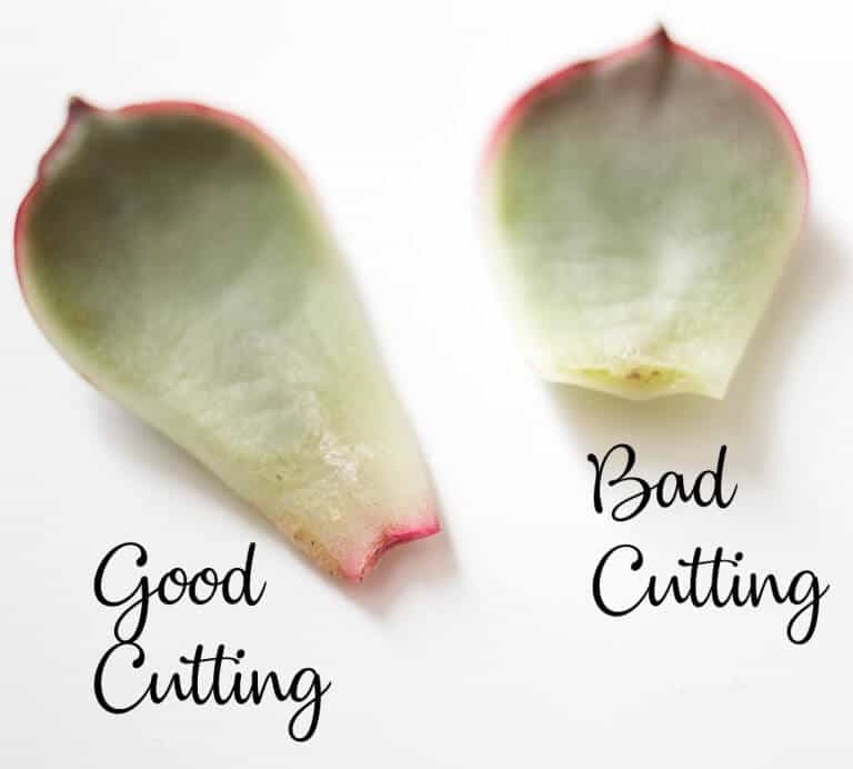 Remove Leaves For Propagation