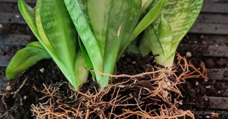 Repotting Snake Plants When Why And How To Repot Snake Plant