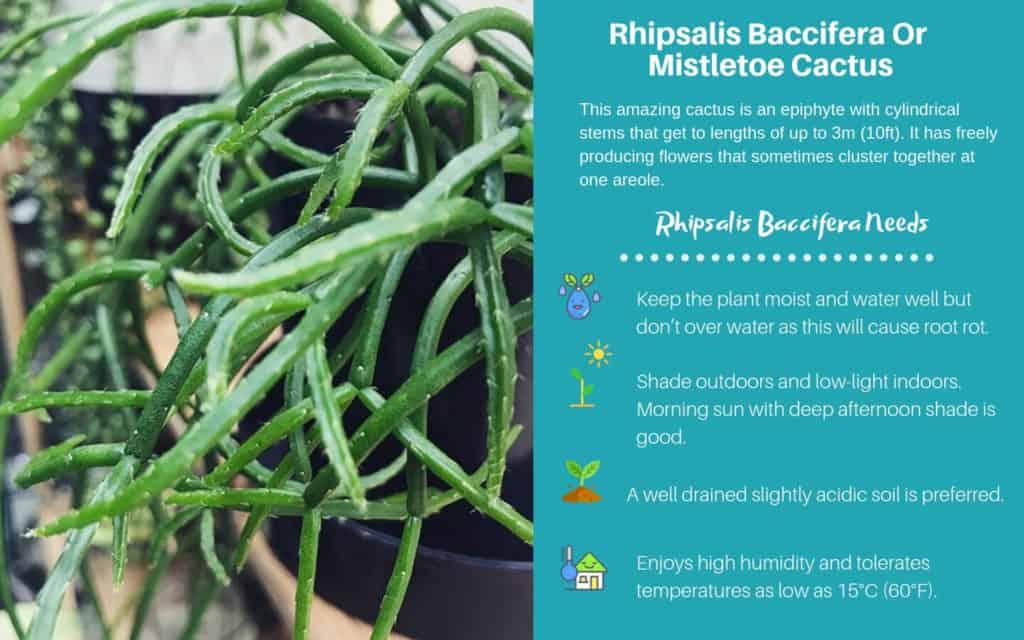 Rhipsalis Baccifera Or Mistletoe Cactus