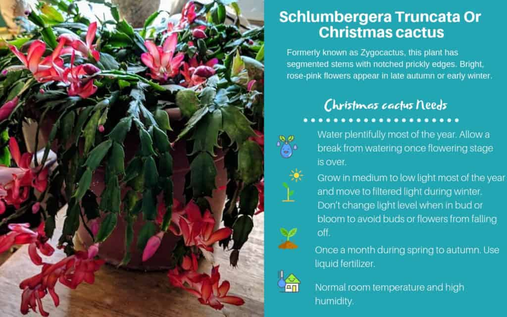Christmas Cactus, Thanksgiving Cactus, Holiday Cactus