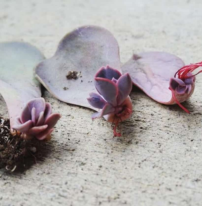 Succulent Leaf Propagation — Week by Week