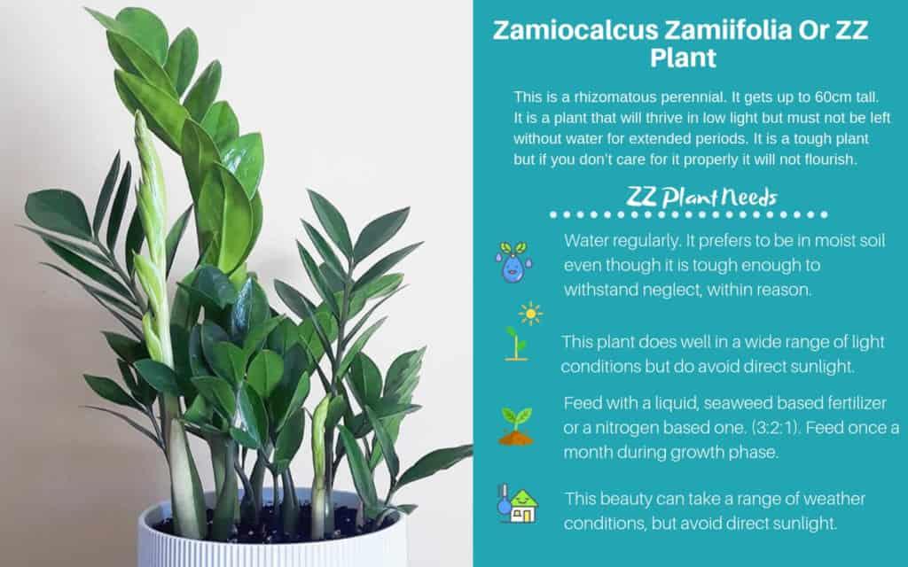 Zamiocalcus Zamiifolia Or Zanzibar Gem or ZZ Plant