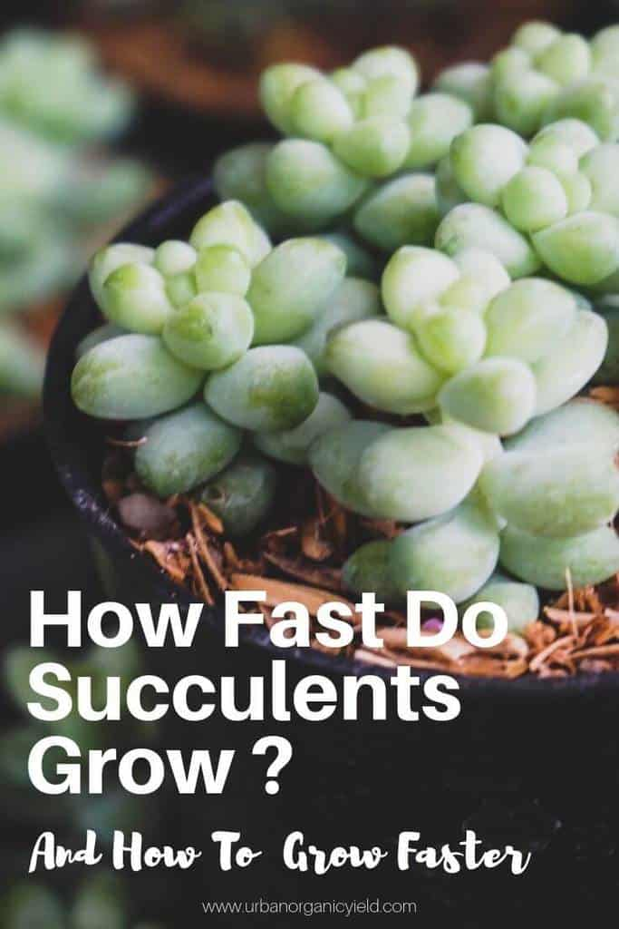 How Fast Do Succulents Grow And How To Grow Them Faster (1) (1)