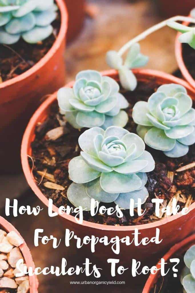 How Long Does It Take For Propagated Succulents To Root_ (1)