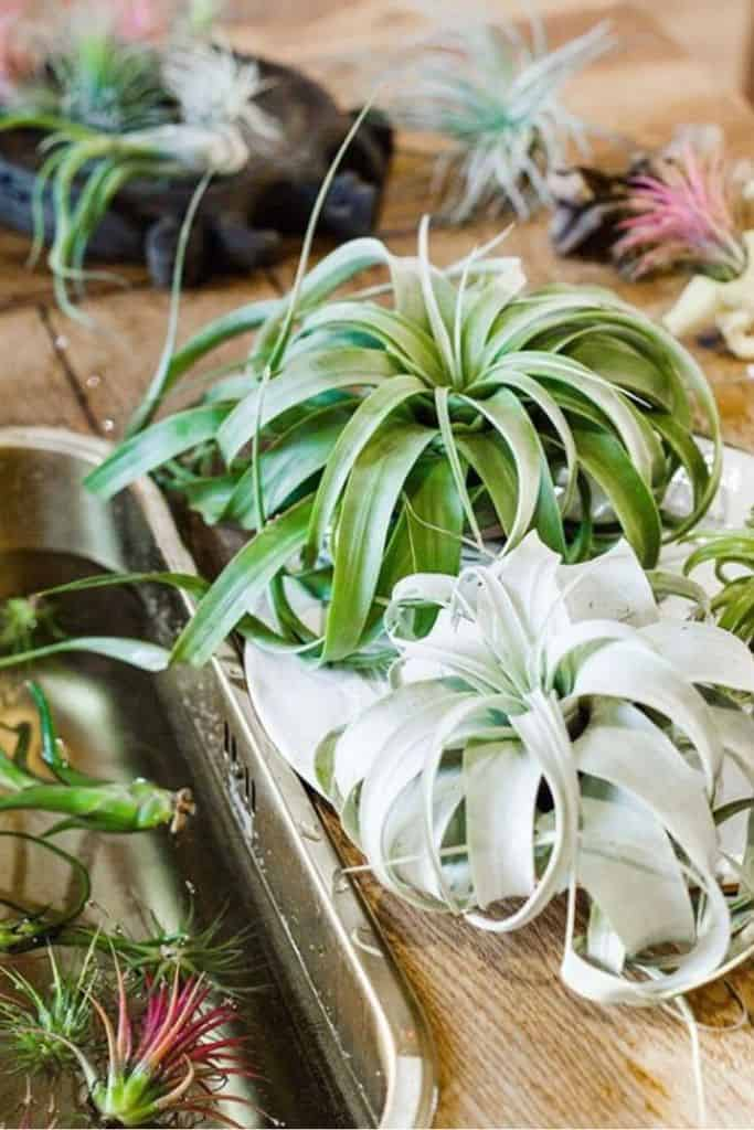 How Much Water Do My Air Plants Need