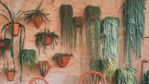 """The 20 Best Trailing & Hanging Succulents """"With Pictures"""" That Thrive In Apartments"""