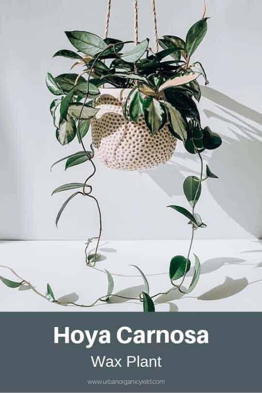Wax Plant (Hoya Carnosa)