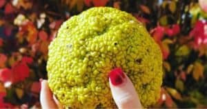 Are Hedge Apples (Osage Orange) Edible_ And What Are They Good For_