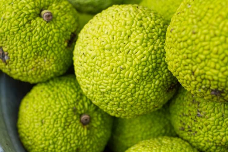 Pile of Hedge Apples