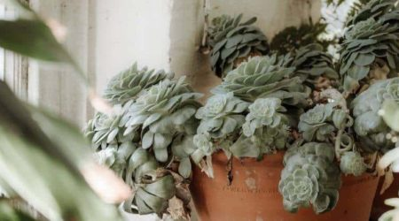 How Long Do Succulents Live And Effective Ways To Increase The Lifespan Of A Succulents