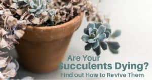 Why Are My Succulents Dying - Find Out How To Revive An Succulent Plant (1)