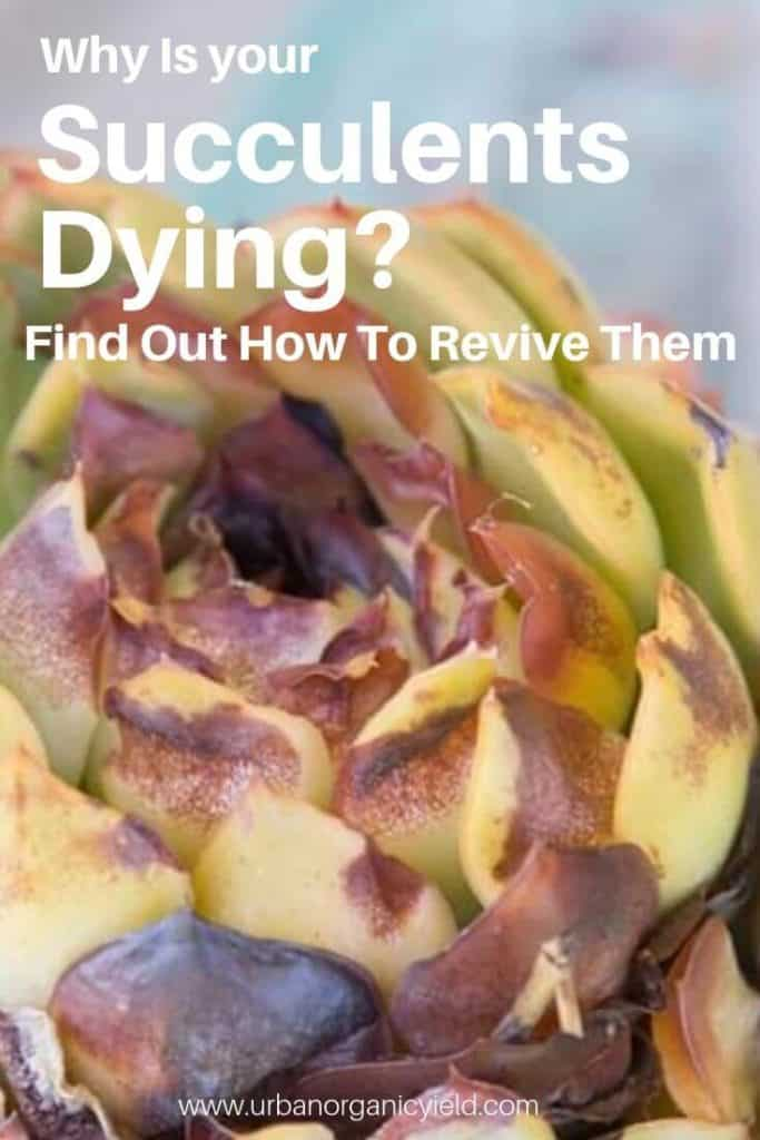 Why Are My Succulents Dying_ Find Out How To Revive A Succulent Plant