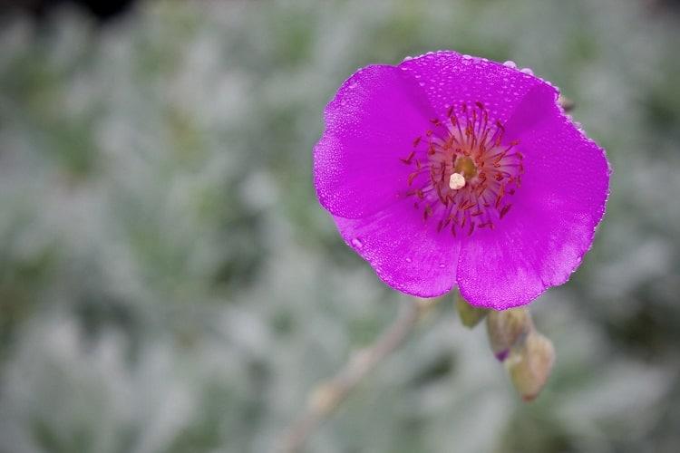 Calandrinia Spectabilis (Rock Purslane)