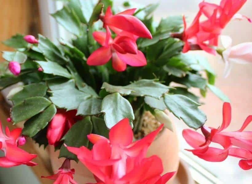 Christmas Cactus plant profile