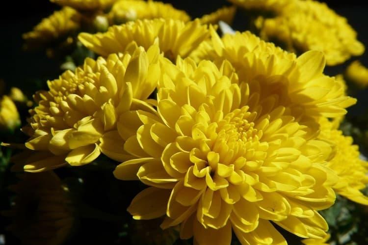 Chrysanthemum 'Child's Play'