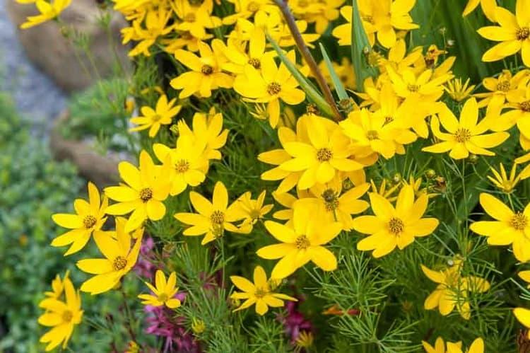 Coreopsis Verticillata Mayo Clinic Flower Of Hope